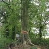 Beech_Tree_Fell